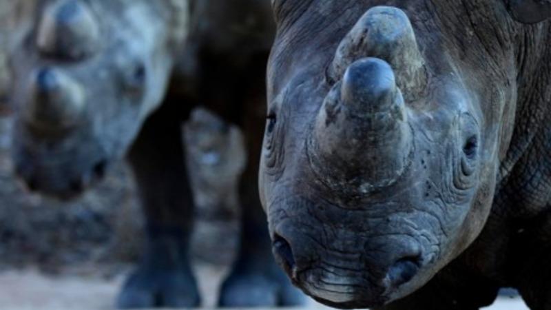 Three rhinos flee Israeli zoo