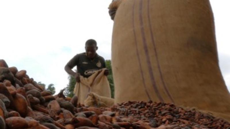 UK safeguards cocoa production