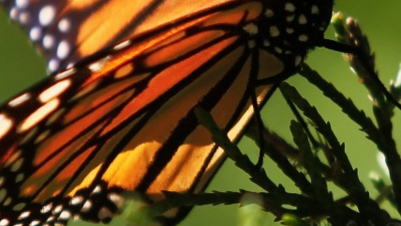U.S. moves to save endangered butterfly