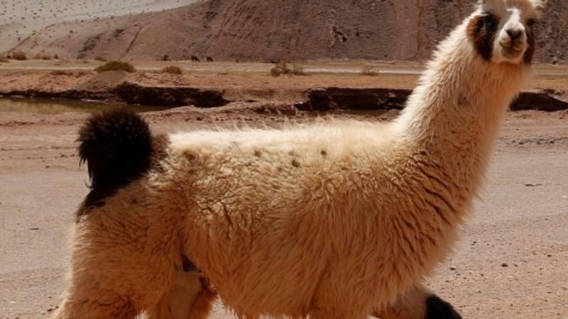 Llamas give Phoenix police the runaround