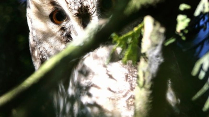 Dutch town's call to arms after owl attacks