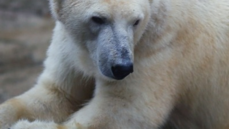 Polar bear attacks tourist on eve of solar eclipse