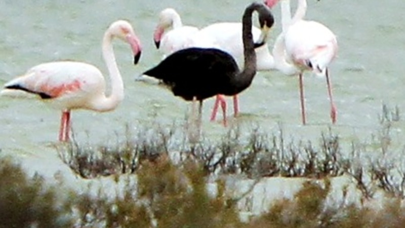 Rare black flamingo spotted in Cyprus