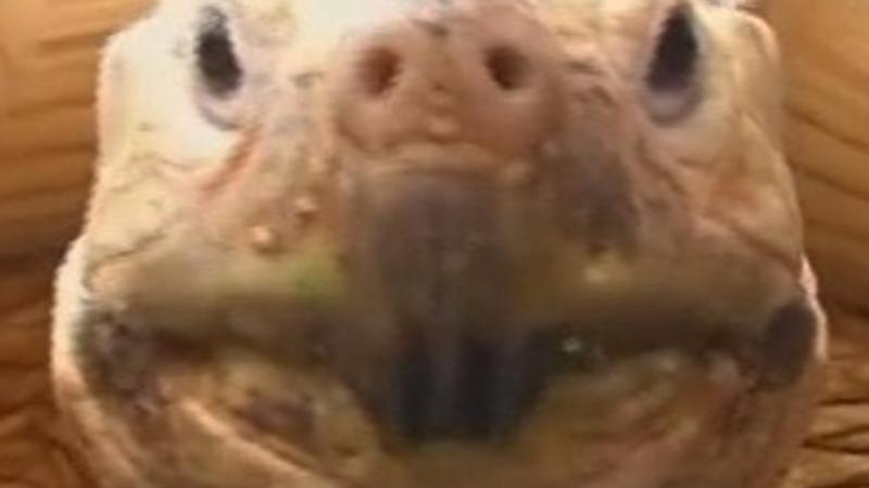 Pet tortoise turns heads in Tokyo