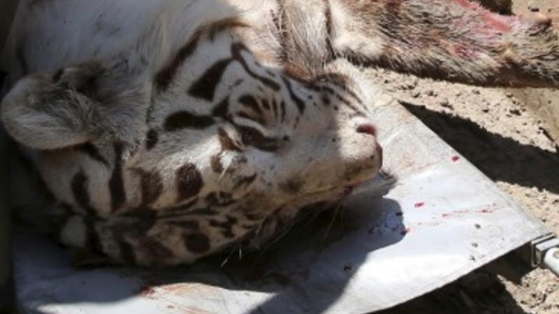 Tiger kills man in Georgia floods