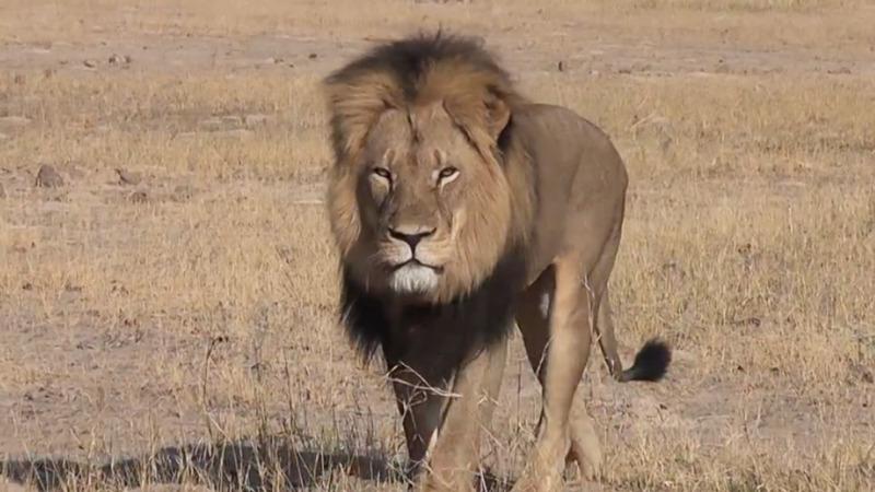 U.S. dentist apologizes for killing beloved lion