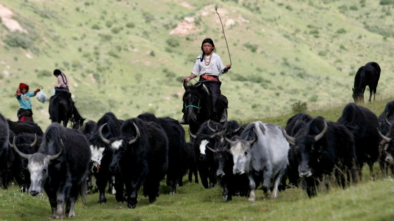 China resettles Tibetan herders