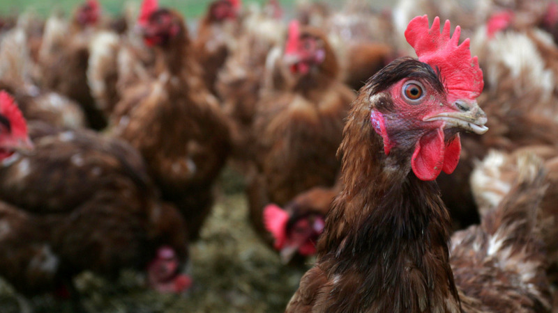 McDonald's to use only cage-free eggs