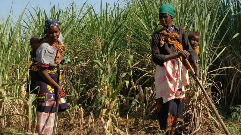 Sugar farmers forced into poverty: Fairtrade