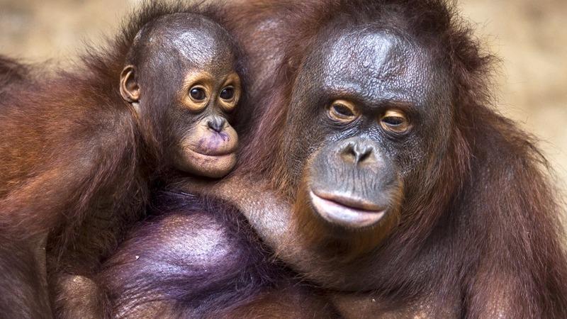 Fires threaten Indonesia orangutan reserve