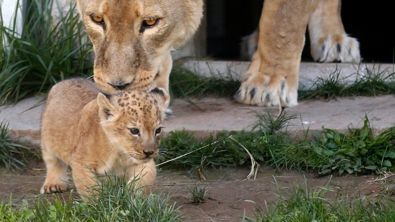 Danish zoo dissects lion cub in public