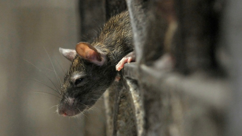 'Rats are taking over,' complain New Yorkers