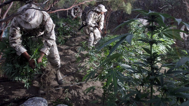 Mexican cartels' pot sales could go up in smoke