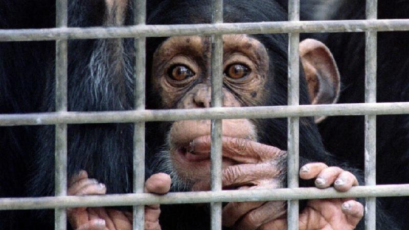 U.S. ending chimp research program