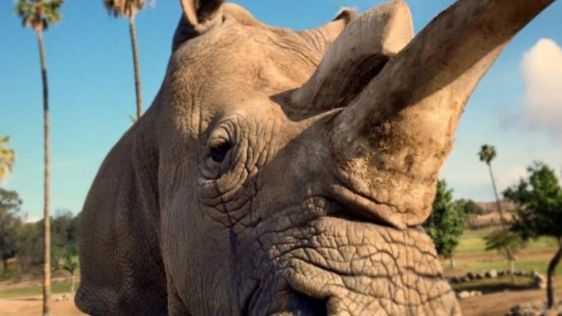San Diego Zoo's endangered Rhino Nola dies
