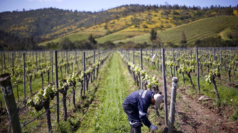 Climate change forces Chile to rethink wine