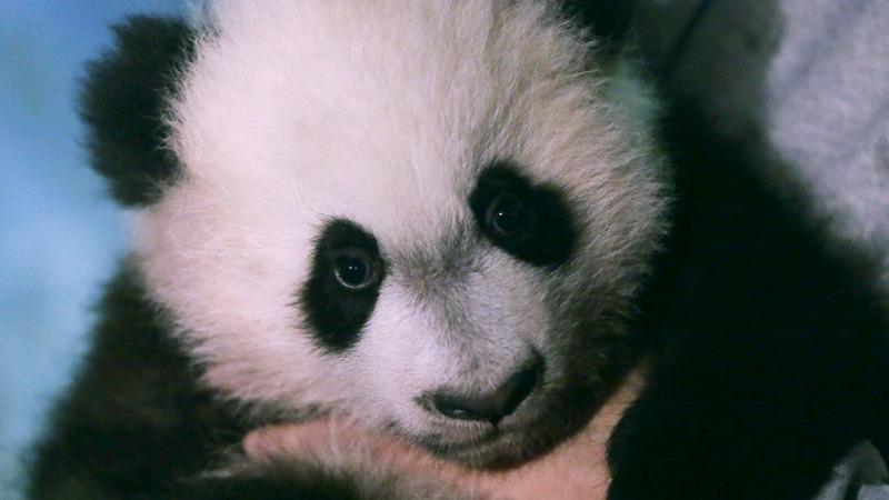 Baby panda debuts in National Zoo