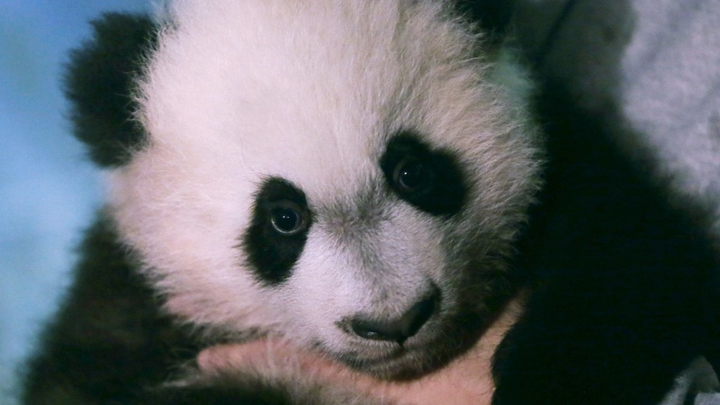 Baby panda debuts in National Zoo