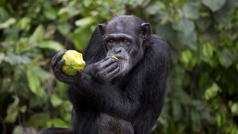 Fresh start for Liberian lab chimps