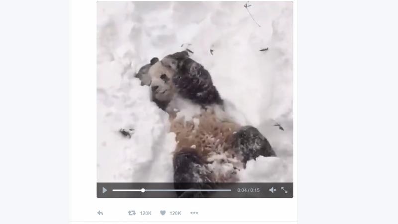 Panda snow dance warms up the Internet