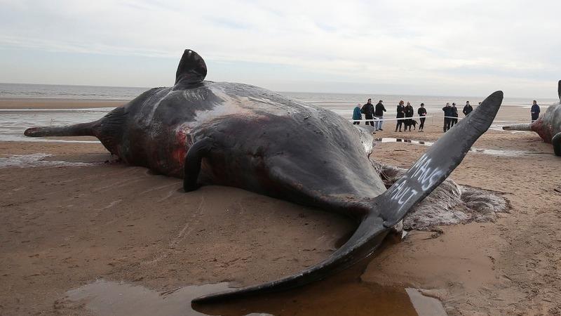 Sperm whale washes up on UK coast
