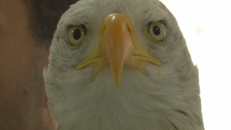 Dutch police train eagles to snatch drones