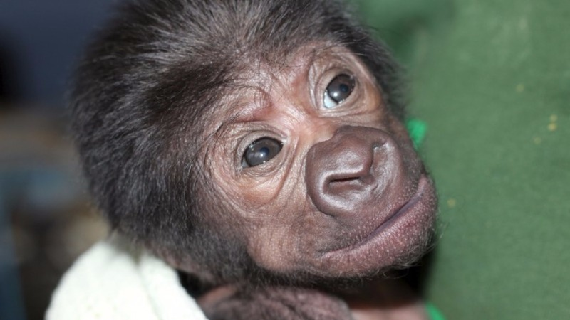 Baby gorilla born in rare C-section
