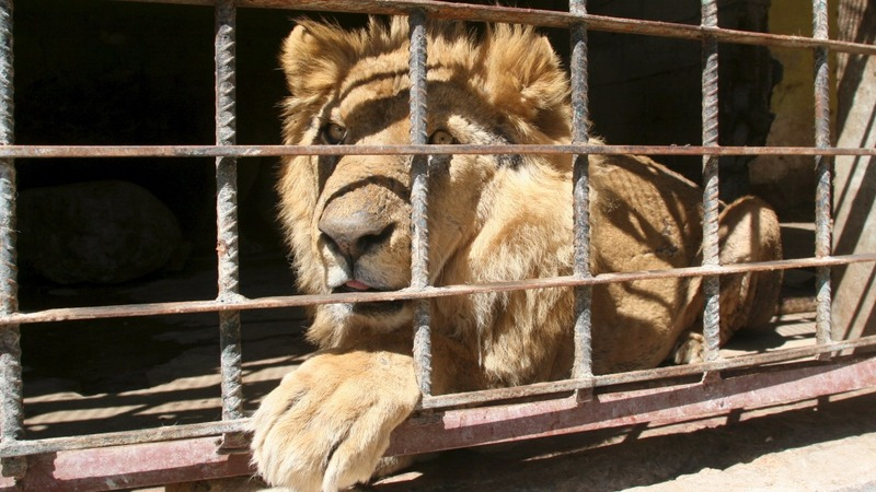 Zoo animals starve in war-torn Yemen