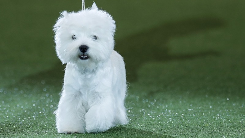 INSIGHT: Westie crowned Crufts' Best in Show