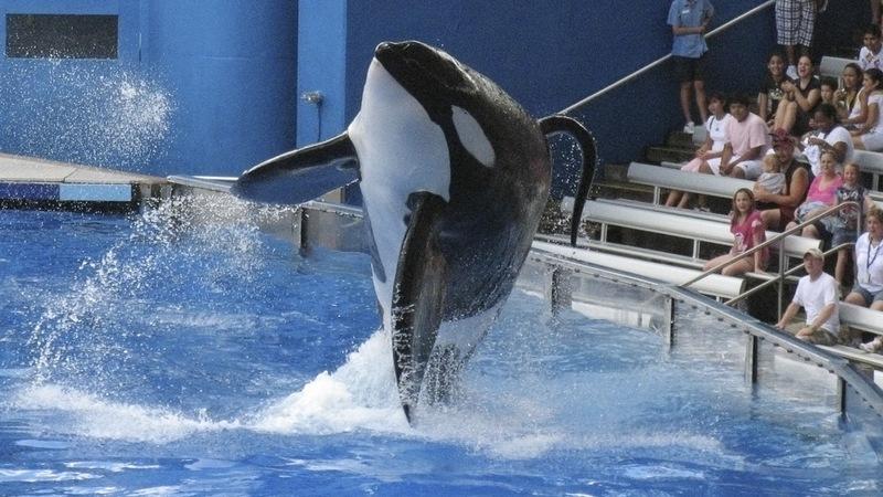 SeaWorld to stop breeding killer whales
