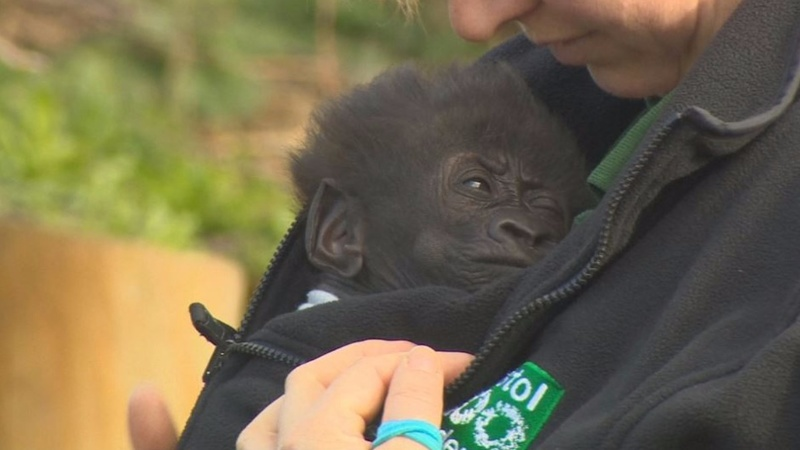 INSIGHT: C-section Gorilla's first day out