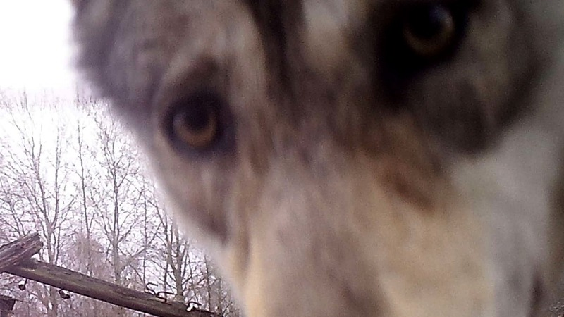 Chernobyl zone a safe haven for animals