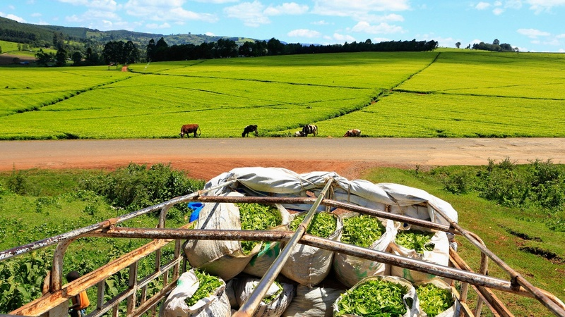 Taxes squeeze Kenya tea farmers