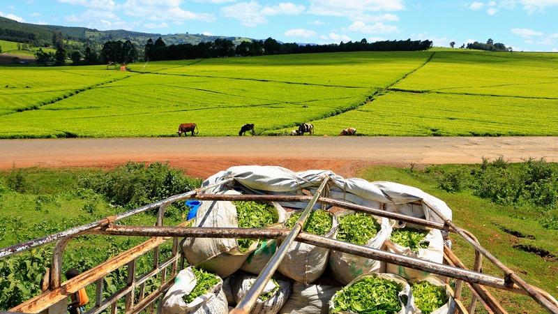 Taxes squeeze Kenya tea farmers