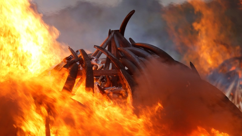 INSIGHT: Kenya burns vast piles of elephant tusks
