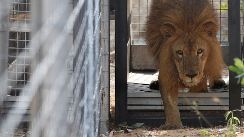 INSIGHT: Circus lions released in S. Africa sanctuary
