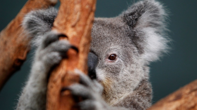 INSIGHT: Injured koala on road to recovery