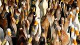 INSIGHT: Quack squad hunts S.African snails
