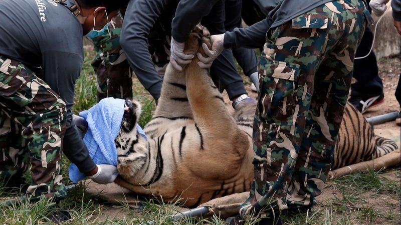 INSIGHT: Officials raid Thai 'tiger temple'