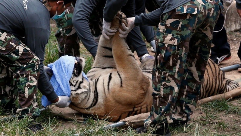 Thai police raid finds dead tiger cubs in temple freezer