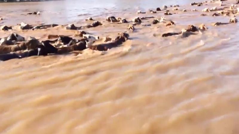 Severe Texas floods leave even cattle scrambling
