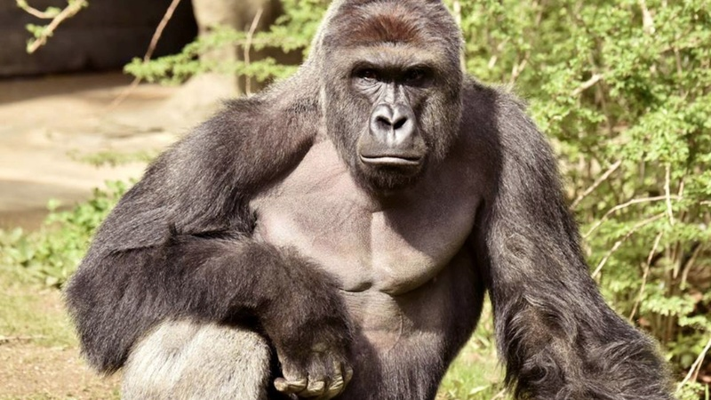 VERBATIM: No charges in Cincinnati gorilla case