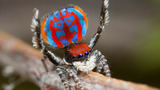 INSIGHT: New 'dancing' peacock spiders found