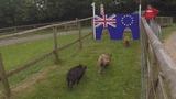 'David Hameron' runs the Brexit pig race