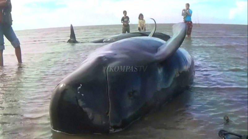 INSIGHT: 30 whales beached in Indonesia