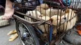 China's dog meat festival begins despite outcry