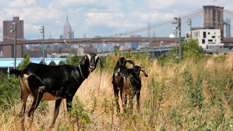 Goats take over Brooklyn