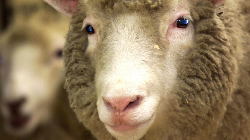 Clones of Dolly the Sheep reach ripe old age