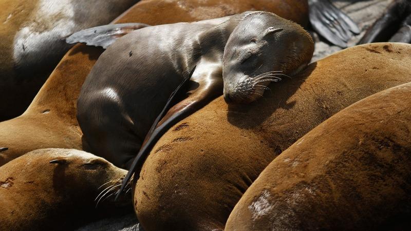 Warmer waters threaten California sea lions