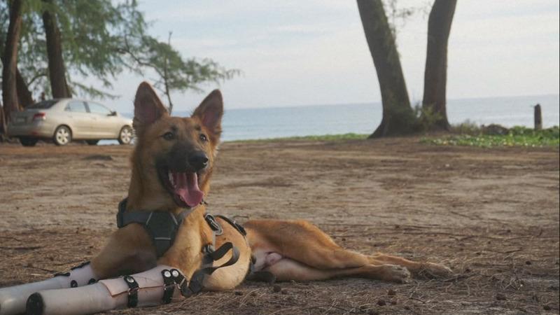 INSIGHT: Prosthetic legs help pup run again